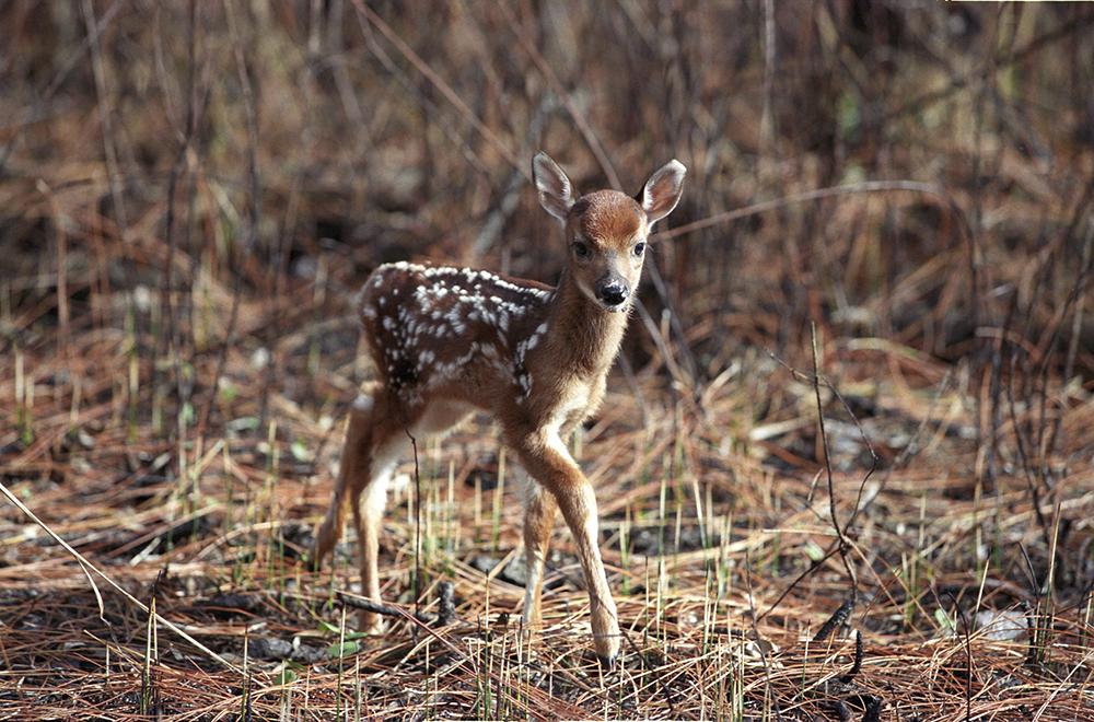 122803 swamp deer