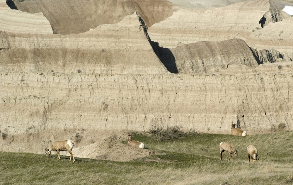 050308 Badlands Bighorns