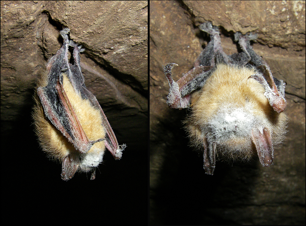 WNS infected bat in Carpenter.